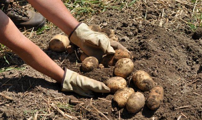 Юрист рассказал, при каких условиях могут оштрафовать за посадку картошки